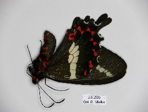 (Parides bunichus chamissonia - BC-CGCM 23.205)  @11 [ ] Copyright (2010) Unspecified Research Collection of Carlos Mielke
