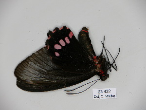 (Parides panthonus - BC-CGCM 23.432)  @11 [ ] Copyright (2010) Unspecified Research Collection of Carlos Mielke