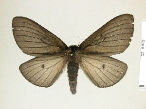 (Eudyaria - BC-DZ-9.872)  @15 [ ] Copyright (2010) Carlos Mielke Research Collection of Carlos Mielke