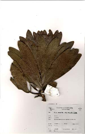 (Protea roupelliae subsp roupelliae - Abbott9165)  @11 [ ] Unspecified (default): All Rights Reserved  Unspecified Unspecified