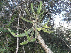 (Euphorbia triangularis - Abbott9222)  @11 [ ] No Rights Reserved  Unspecified Unspecified