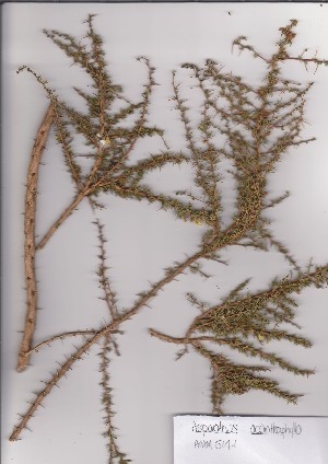 (Aspalathus acanthophylla - AMM5141)  @11 [ ] No Rights Reserved  Unspecified Unspecified