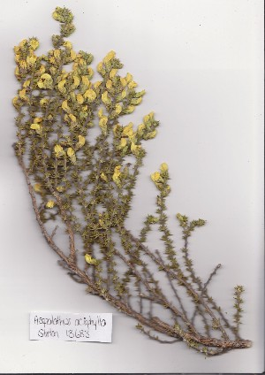 (Aspalathus aciphylla - Stirton13683)  @11 [ ] No Rights Reserved  Unspecified Unspecified