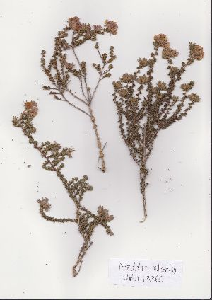 (Aspalathus millefolia - Stirton13360)  @11 [ ] No Rights Reserved  Unspecified Unspecified