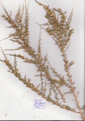 (Aspalathus spinosa - Stirton13260)  @11 [ ] No Rights Reserved  Unspecified Unspecified