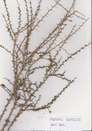 (Aspalathus spinosissima - AMM5454)  @11 [ ] No Rights Reserved  Unspecified Unspecified