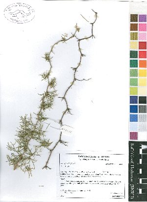 (Asparagus densiflorus Swaziland - Burrows12622)  @11 [ ] No Rights Reserved  Unspecified Unspecified