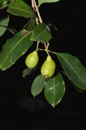 (Syzygium - Burrows13361)  @11 [ ] cc by-nc-sa (2014) John E. Burrows Buffelskloof Nature Reserve Herbarium (BNRH)