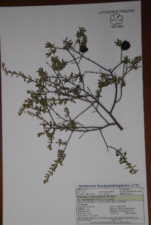 (Diospyros austro-africana var. microphylla - Hahn2979)  @11 [ ] No Rights Reserved  Unspecified Unspecified