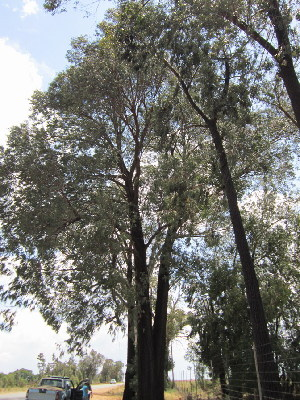 (Eucalyptus sideroxylon - KMS-0228)  @11 [ ] No Rights Reserved  Unspecified Unspecified