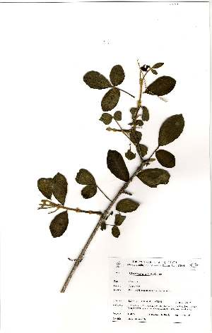 (Vitex patula - OM0839)  @11 [ ] No Rights Reserved  Unspecified Unspecified