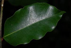 (Chrysophyllum viridifolium - OM2668)  @11 [ ] CreativeCommons - Attribution Non-Commercial Share-Alike (2011) Olivier Maurin University of Johannesburg