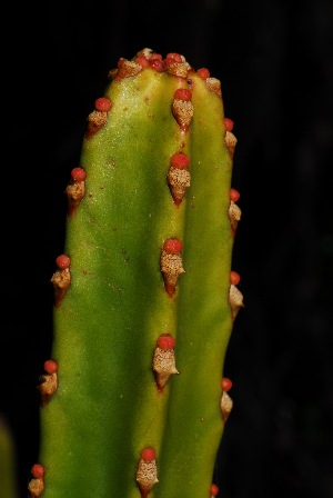 (Euphorbia tetragona - OM2943)  @11 [ ] CreativeCommons - Attribution Non-Commercial Share-Alike (2011) Olivier Maurin University of Johannesburg