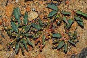 (Euphorbia tuberosa - OM2980)  @11 [ ] CreativeCommons - Attribution Non-Commercial Share-Alike (2011) Olivier Maurin University of Johannesburg
