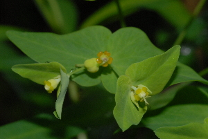 (Euphorbia striata - OM3234)  @11 [ ] CreativeCommons - Attribution Non-Commercial Share-Alike (2011) Olivier Maurin University of Johannesburg