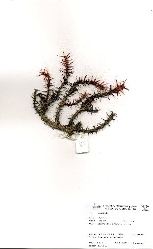 (Euphorbia aeruginosum - OM3349)  @11 [ ] No Rights Reserved  Unspecified Unspecified