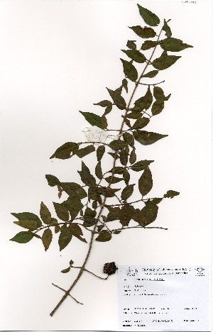 (Cephalanthus - OM3398)  @11 [ ] No Rights Reserved  Unspecified Unspecified