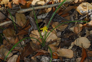 (Hypoxis - OM3609)  @11 [ ] CreativeCommons - Attribution Non-Commercial Share-Alike (2011) Olivier Maurin University of Johannesburg