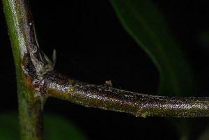 (Capparis sepiaria var. citrifolia - OM3626)  @11 [ ] CreativeCommons - Attribution Non-Commercial Share-Alike (2011) Olivier Maurin University of Johannesburg