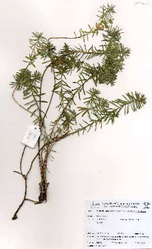 (Euphorbia epicyparissus - OM3655)  @11 [ ] No Rights Reserved  Unspecified Unspecified