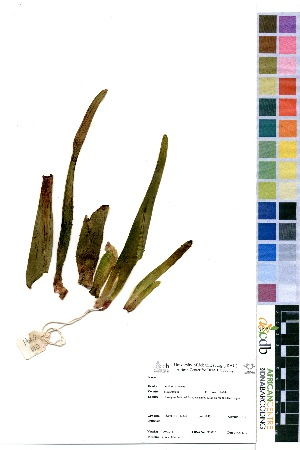 (Aloe tongaensis - OM3941)  @11 [ ] No Right Reserved  Unspecified Unspecified