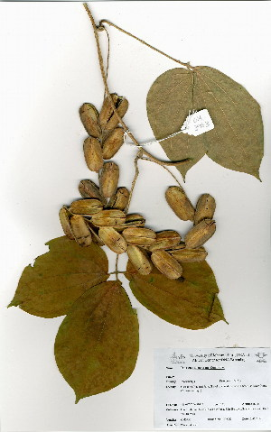(Dioscorea dumetorum - OM3953)  @11 [ ] No Rights Reserved  Unspecified Unspecified