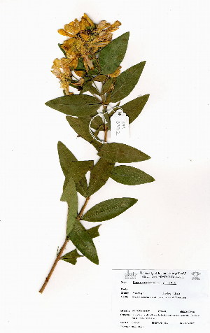 (Hypericum roeperianum - OM3992)  @11 [ ] No Rights Reserved  Unspecified Unspecified
