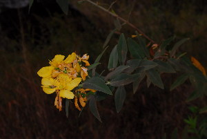 (Hypericum roeperianum - OM3992)  @11 [ ] CreativeCommons - Attribution Non-Commercial Share-Alike (2012) Olivier Maurin University of Johannesburg