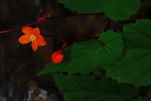 (Begonia - OM4046)  @11 [ ] cc by-nc-sa (2013) Olivier Maurin University of Johannesburg, African Centre for DNA Barcoding (ACDB)