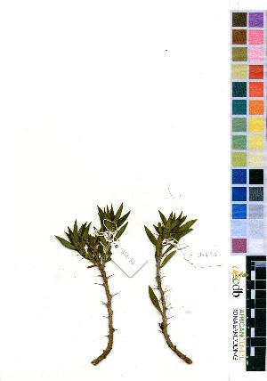 (Pachypodium bispinosum - OM4185)  @11 [ ] No Right Reserved  Unspecified Unspecified