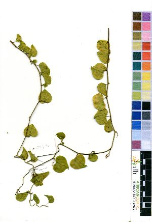 (Dioscorea elephantipes - OM4190)  @11 [ ] No Right Reserved  Unspecified Unspecified