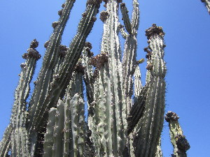 (Cereus jamacaru - PPRI-0047)  @11 [ ] No Rights Reserved  Unspecified Unspecified