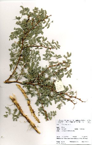 (Acacia senegal subsp leiorhachis - RL1324)  @11 [ ] No Rights Reserved  Unspecified Unspecified