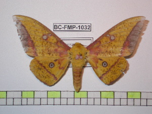 (Eacles fairchildi - BC-FMP-1032)  @16 [ ] Copyright (2010) Unspecified Research Collection of Frank Meister