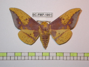 (Eacles imperialis opaca - BC-FMP-1051)  @15 [ ] Copyright (2010) Frank Meister Research Collection of Frank Meister