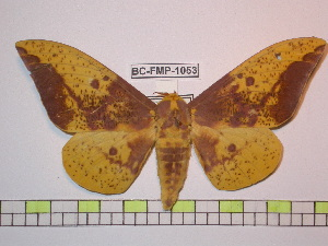 (Eacles imperialis magnifica - BC-FMP-1053)  @15 [ ] Copyright (2010) Unspecified Research Collection of Frank Meister
