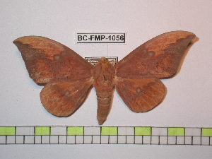 (Eacles imperialis imperialis - BC-FMP-1056)  @14 [ ] Copyright (2010) Unspecified Research Collection of Frank Meister