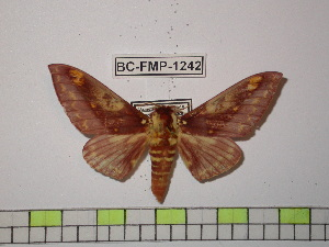(Citheronia phoronea - BC-FMP-1242)  @15 [ ] Copyright (2010) Frank Meister Research Collection of Frank Meister