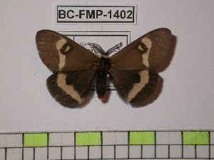 (Hemileuca grotei diana - BC-FMP-1402)  @14 [ ] Copyright (2010) Unspecified Research Collection of Frank Meister