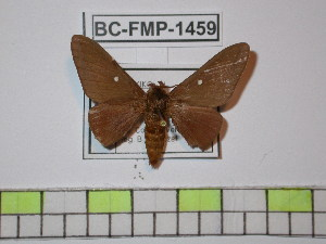 (Anisota kendallorum - BC-FMP-1459)  @15 [ ] Copyright (2010) Unspecified Research Collection of Frank Meister
