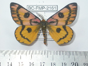 (Hemileuca eglanterina - BC-FMP-2161)  @15 [ ] Copyright (2010) Frank Meister Research Collection of Frank Meister