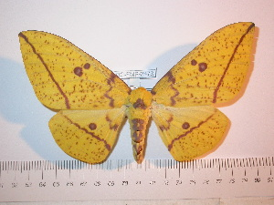 (Eacles imperialis decoris - BC-FMP-2473)  @15 [ ] Copyright (2011) Frank Meister Research Collection of Frank Meister