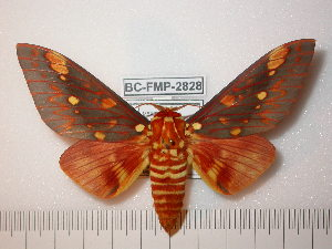 (Hemileucinae - BC-FMP-2543)  @16 [ ] Copyright (2011) Frank Meister Research Collection of Frank Meister