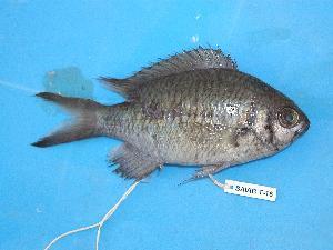 (Chromis opercularis - SAIAB 77082-T16)  @14 [ ] Unspecified (default): All Rights Reserved  Unspecified Unspecified