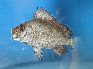 (Plectorhinchus gibbosus - SAIAB 77941-T119)  @14 [ ] Unspecified (default): All Rights Reserved  Unspecified Unspecified