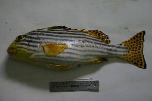 (Plectorhinchus vittatus - SAIAB 78102-T212)  @13 [ ] Unspecified (default): All Rights Reserved  Unspecified Unspecified