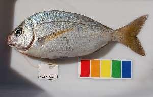 (Polyamblyodon - AV2010-112)  @13 [ ] CreativeCommons - Attribution Non-Commercial Share-Alike (2011) SAIAB SAIAB