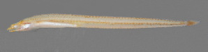 (Creediidae - Smith 232.1 #1)  @14 [ ] CC by-nc-sa (2014) SAIAB SAIAB