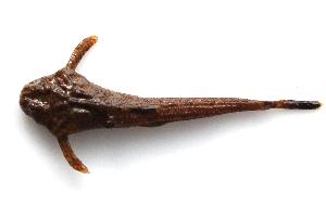 (Pterobunocephalus - MACNICT201359)  @11 [ ] Copyright (2014) E. Fernández MACN