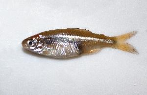(Odontostilbe microcephala - MACNICT201206)  @11 [ ] Copyright (2013) E. Fernandez MACN